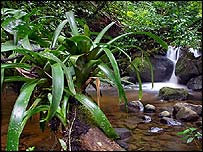 A beautiful and remote stretch of the Quebrada La Cuecha, including a small waterfall and a bromeliad-covered log across the creek. (Photograph by Brett Cole)