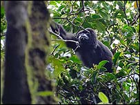 An adult howler monkey (Photograph by Brett Cole)