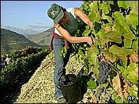 Grape harvest in Douro valley