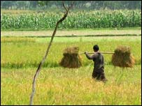 Man carrying bundles of rice across a paddy field