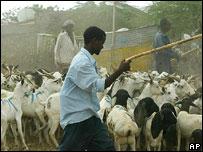 Men herding goats and sheep in Hargeisa