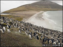 Rock Hopper penguins on hillside, Falkland Islands