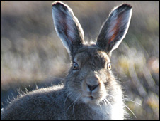 Mountain hare (Pic: Scott Newey/Macaulay Institute)