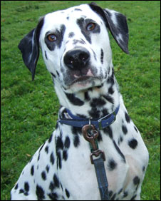 Zoe the deaf Dalmatian: Pic RSPCA
