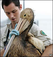 A conservation worker handles a pelican covered in oil on Moreton Island near Brisbane, Australia (13/03/2009)
