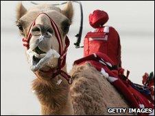 Robot camel jockey in the UAE