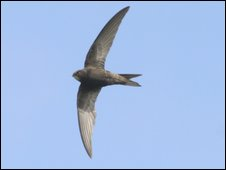 Generic image of swift (RSPB-images.com)