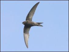 Generic image of swift (RSPB-images.com)