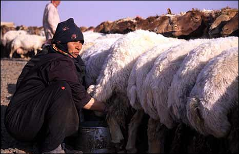 Bedouin woman milks sheep