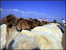 Desert sheep being milked by Bedouin man