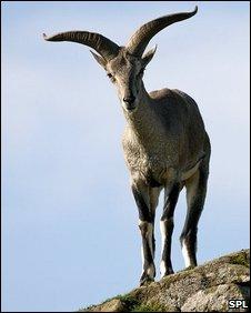 Juvenile mouflon (SPL)