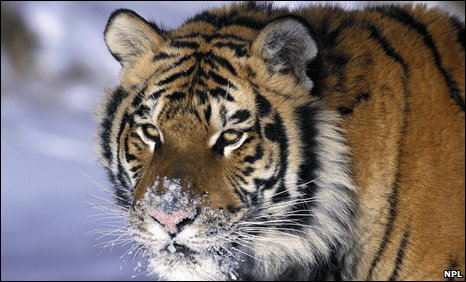 Amur tiger (Panthera tigris altaica)