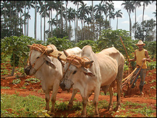 oxen 