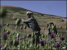 Police officers destroy poppy crops in Badakhshan province, Afghanistan, July 2009