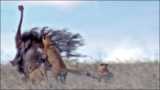 Cheetah hunting ostrich