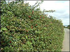 A hedge in Devon