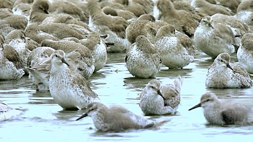 Knot at Snettisham, Norfolk