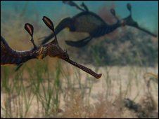 Weedy sea dragon (Phyllopteryx taeniolatus)