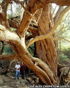 Huarango tree