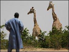 Giraffe near Koure, Niger