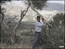 Palestinian olive trees uprooted in Burin village in the West Bank on 12/11/09