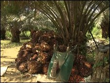 Oil palm