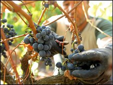 Grapes being picked in Portugal