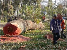 Felled tree in Tashkent