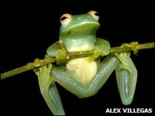 Frog found in Costa Rica's rainforest