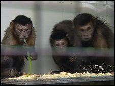 Rescued capuchins