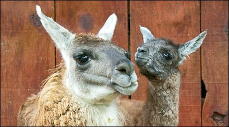 Llamas, Lashes and ET