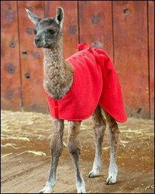 ET the baby llama