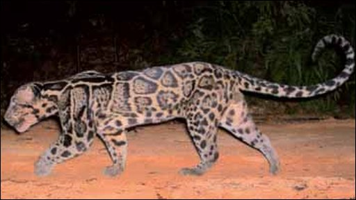 Sundaland clouded leopard filmed in the wild (picture courtesy of A wilting and A Mohamed)