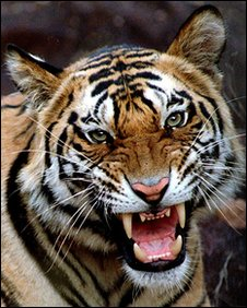 An Indian tiger. Copyright of Geoff Whittle.