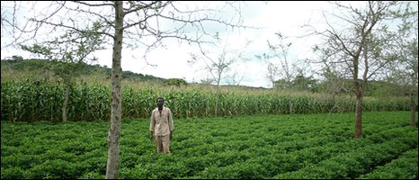 Elleman Mumba in his field with Musango trees [Photo by Kieron Humphrey]
