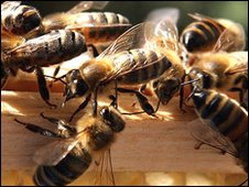 Honeybees work outside their hive