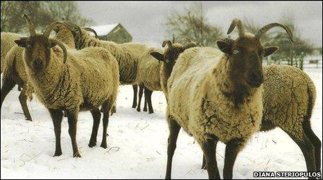 Isle of Man Manx Loaghtan Sheep