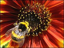 Bumblebee collecting pollen from a sunflower