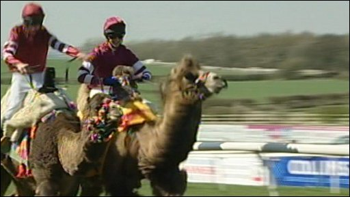 Camel racing at Sedgefield