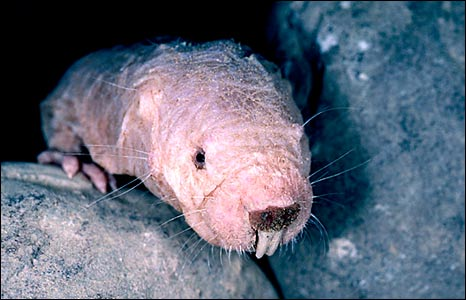 Naked mole rat (SPL)