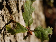 Oak leaves (Image: BBC)