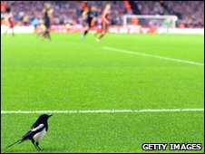 There's a magpie on the pitch