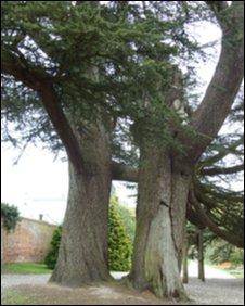 Cedar tree