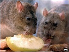 Brown rats (Image: PA)