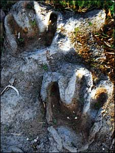 Rocks with dinosaur footprints in Gujarat