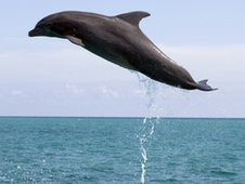 Dolphin leaping out of water, BBC