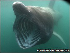 Basking shark off the Isle of Man