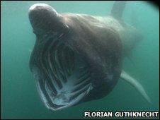 Basking shark off the Isle of Man