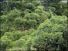 Kudzu vines (Image: David R Frazier photolibrary/SPL)