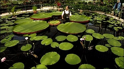 The worlds' largest water lily